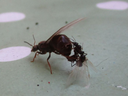 A potential queen ant with two male suitors
