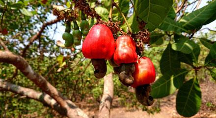 Vietnam-Exporte-Cashew-Produkte-Platz 1-Cashewnuss-Cashewbaum-Umland-Buon Ma Thuot-Da Lak-Tour-Reise-Reisegruppe-Freunde