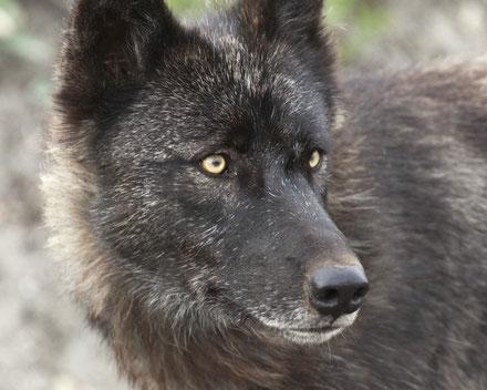 Der Wolf kam auf wenige Meter heran. 700mm (500/4 + Telekonverter) an meiner Vollformat-Kamera 5D Mark II waren schon zuviel Brennweite! :-)