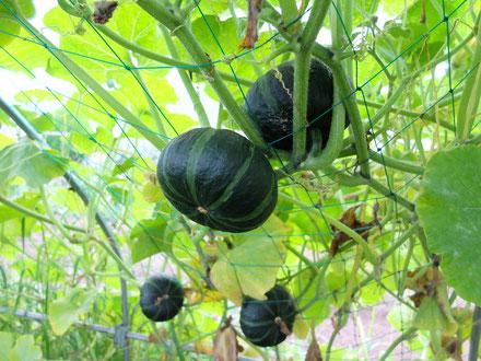 ミモレ農園 農薬不使用 かぼちゃ