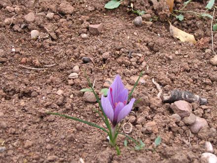 crocus a safran ( crocus sativus )