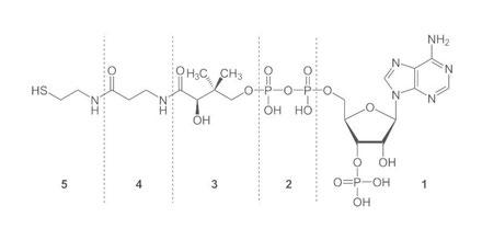 Coenzym A - free acid