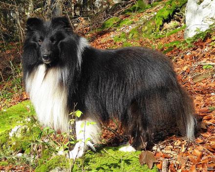 Deckrüde Shetland Sheepdog , biblack , Pirate Noir de la Ville des Ambasadeurs