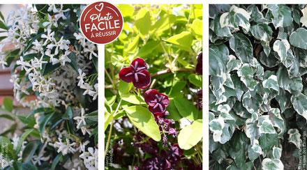 """©Javoy Plantes - Gamme de plantes grimpantes """"sans soucis"""" - floraison garantie"""