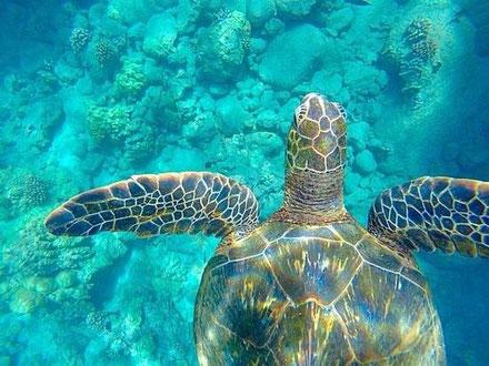 Hawaiian green sea turtle a creative life form navigating the ocean.