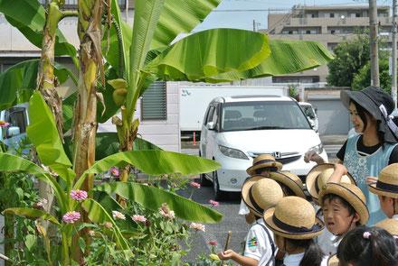 バナナの花の切り口から、バナナのにおいがした?