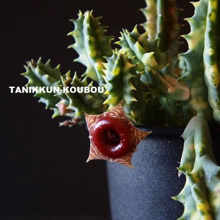 蝋細工のような花が咲く、フェルニア・ゼブリナ錦