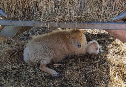 Ouessantschaf mit Lamm