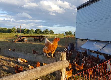 Hühner im Hühnermobil
