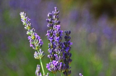 Lavendel und andere ätherische Öle unterstützen Mama Baby und Kind beim Wohlbefinden dank unserer aetherio love & science bio Sprays