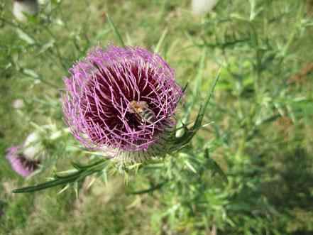 abeille sur chardon