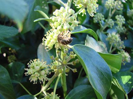 abeille sur lierre