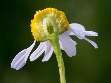 Matricaire - Matricaria recutita - Son nom fait référence à la matrice (signature botanique : réceptacle en creux) - Famille botanique : Astéracée