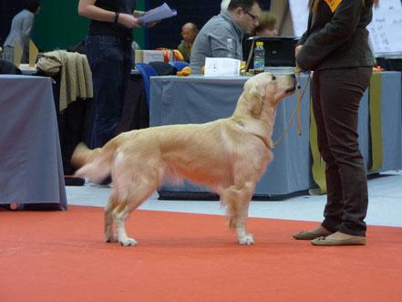 Hund im Ausstellungring