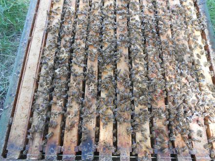 Starke Völker,gesunde Bienen,viel Honig.