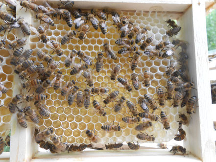 Wenn die Wachszellen mit Honig gefüllt sind,werden Sie mit einer dünnen Wachsschicht verschlossen,verdeckelt.