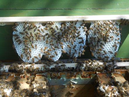 Honigwabe,Wabenhonig kaufen,Wabenhonig bestellen.Honigwabe im Holzrahmen.
