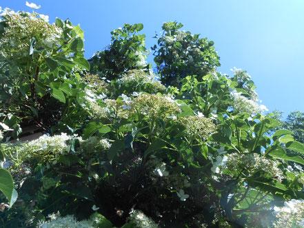 Blühende Rankgewächse am Haus