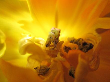 Tulpenblüte innen