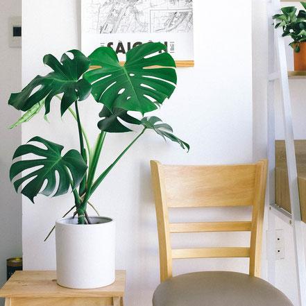Monstera deliciosa, fensterblatt, online, bestellen, trend, zimmerpflanze, grünpflanze, luftreinigend wuerzburg