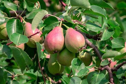 Obstbaum kaufen Würzburg, Birne, Apfel, Kirsche, Zwetschge, Kaki