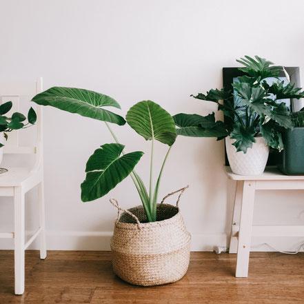 Zimmerpflanzen online bestellen, guenstig, Aktion, Rabatt, Gutschein, Würzburg, Gartencenter, Gärtnerei, Dehner, Obi, Monstera, Ficus lyrata, alocasia