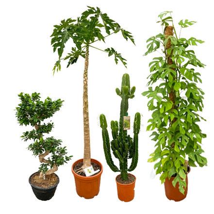 XXL Zimmerpflanzen kaufen in Würzburg, Mainfranken, Unterfranken, bestellen, abholen, günstig, einzelstücke
