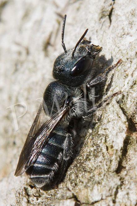 18.05.2014 : Stahlblaue Mauerbiene - Weibchen