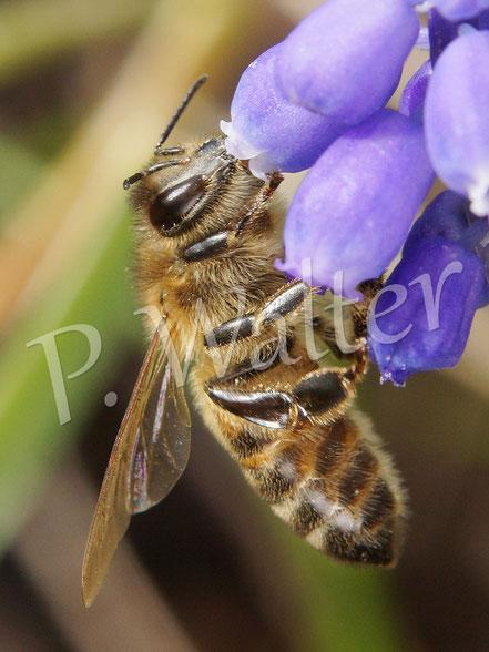 03.04.2016 : Honigbiene an der Traubenhyazinthe