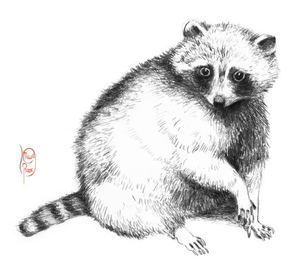 dessin naturaliste Raton Laveur, raccoon drawing