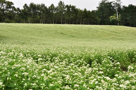 おまけ:蕎麦の花が美しい中山高原(美麻)