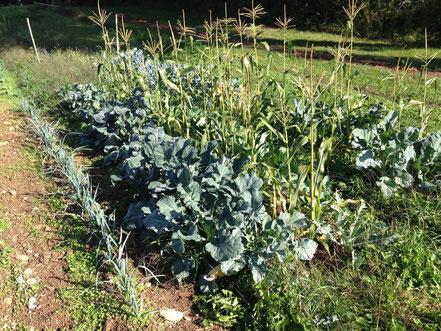 25. September. Der Zuckermais ist erntereif und der Brokkoli beginnt erst mit der Kopfbildung.