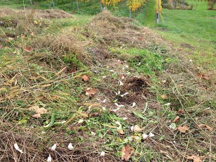 Knoblauchversuch mit Mulch und ohne Bodenbearbeitung!