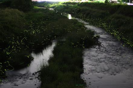 河川生物調査で撮影された魚