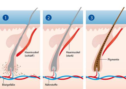 Versorgung der Haarwurzeln