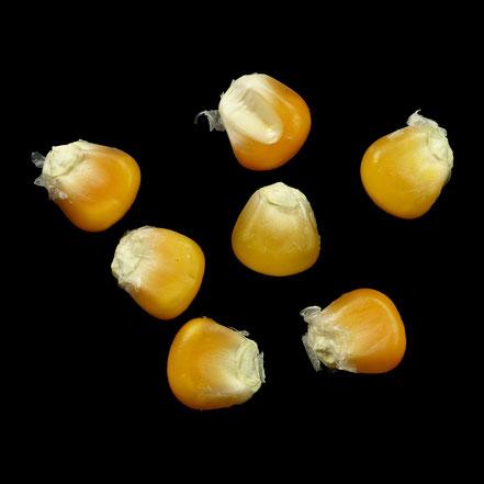Siebenbürgen - maize - corn - Hartmais