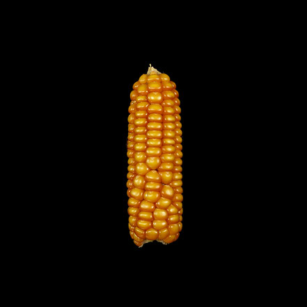 Linthmais - Linth - maize - corn - Hartmais
