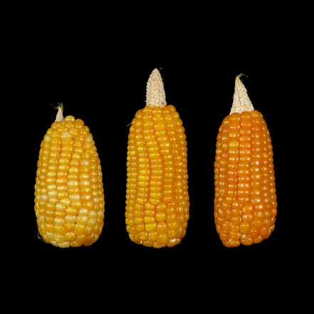 Pontailler - maize - corn - Hartmais