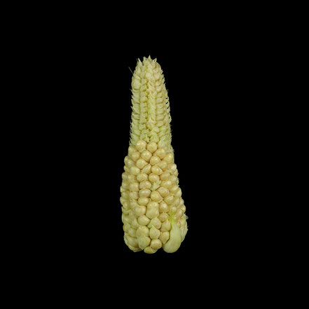 Spelzmais - maize - corn