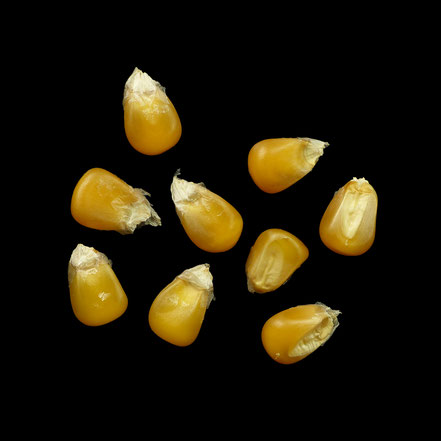 Couvre A - maize - corn - Hartmais