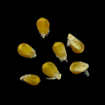 Gelbes Popcorn - maize - corn - Puffmais