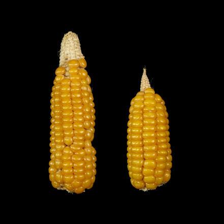 Jaune d'Alsace - maize - corn - Hartmais
