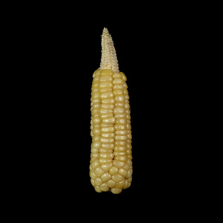 Breittaler Berghofer - maize - corn - Hartmais