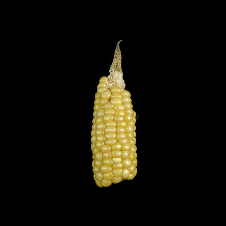 Ribeli Mais - maize - corn - Hartmais