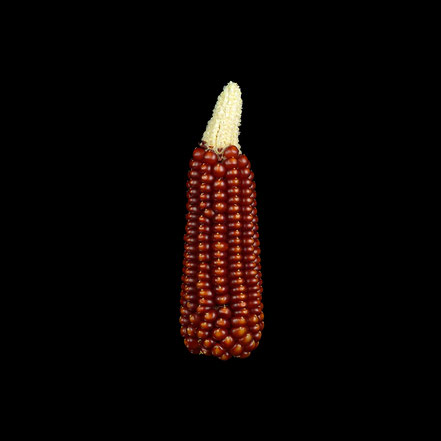 Hartmais - maize - corn