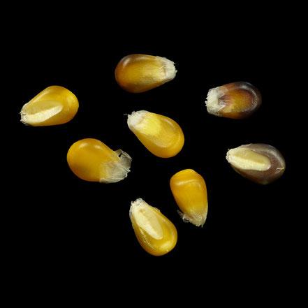 Gelb blaues Popcorn - maize - corn - Puffmais