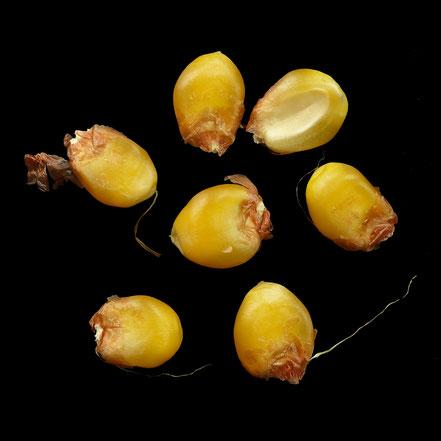 Schafzahnmais gelb - maize - corn - Zahnmais