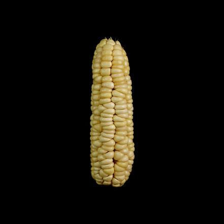 Stärkemais - maize - corn