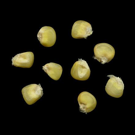 Blanc de Bresse - maize - corn - Hartmais