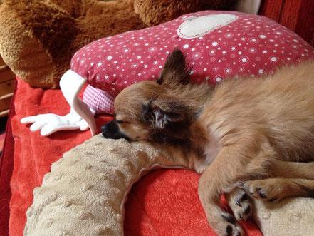 Chi-Love.de | Darf der Hund auf das Sofa und ins Bett | Chihuahua | Funki